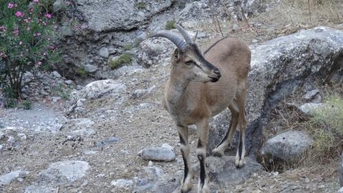 Chèvres sauvages crétoises, Kri-kri, The Cretan Wild Goats
