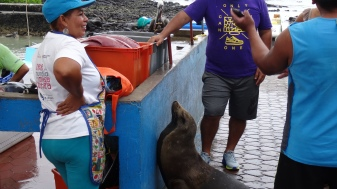 Loup marin attendant impatiemment sa pitance / Sea Lion waiting eagerly for its Share