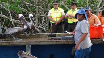 Les pélicans attendent impatiemment leur pitances / Pelicans waiting eagerly for their Share