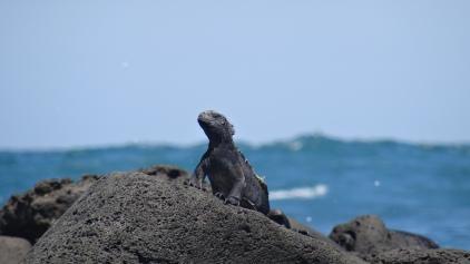 Il y en a partout sur l'île San Cristobal / Iguanas are all over the Island