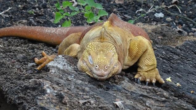 Iguane terrestre / Land Iguana
