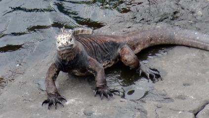 Iguane marin / Sea Iguana