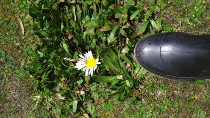 Marguerite sans tige / Daisy without Stem
