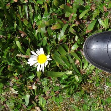 Marguerite sans tige / Daisy without Stem