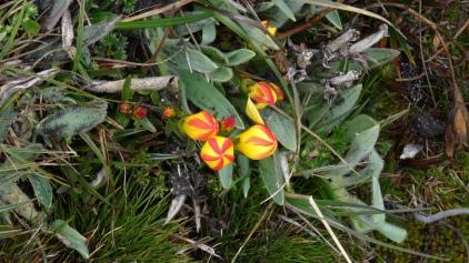 Tulipe des Andes / Andean Tulip