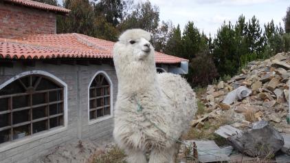Nous sommes accueillis par un Alpaga is Welcoming us