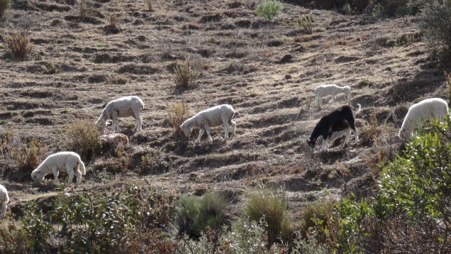 Moutons en montagne / Sheeps on the Mountain