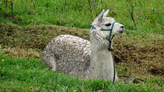 Animal de la ferme, le lama / Animal from the Farm, the Lama