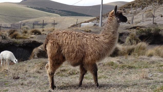 Lamas / Llamas