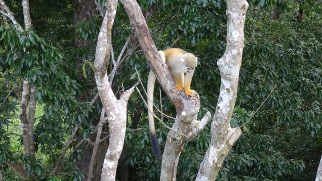 Aussi appelés singe-écureuils, ils sont arboricoles et intelligents