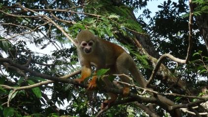 Sapajous (petit singe) capucins sont sociables, curieux ...